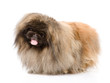 Fluffy Pekingese. isolated on white background