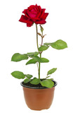 """""""Ena Harkness"""" red rose"""