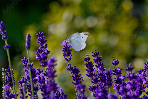 Small Cabbage White Butterfly On Lavender