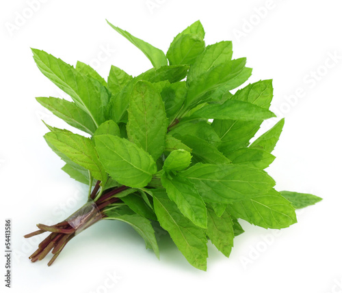 Bunch of fresh mint leaves