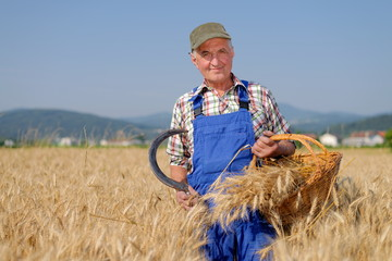Organic farmer standing in a wheat field, looking at the crop