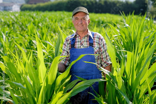 Organic Farmer looking at sweetcorn in a field.