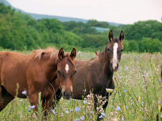 arabian colts in the pasture