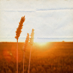 Cornfield in golden sunlight