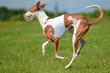 Windhund 3