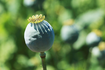 Detail of unripe white Poppyhead