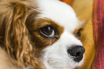 The cavalier king