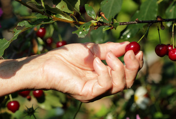 ripe cherry in a female hand