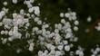 белые маленькие цветы цветут на клумбе в саду