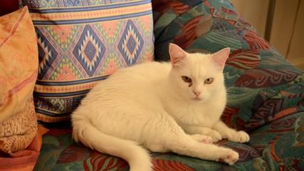 Chat blanc paressant dans un fauteuil