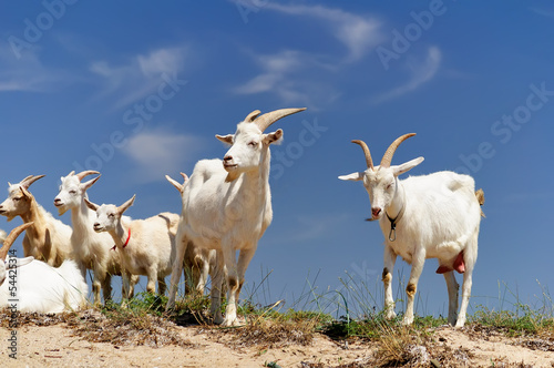 A herd of domestic goats