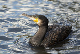 Beautiful cormorant looking