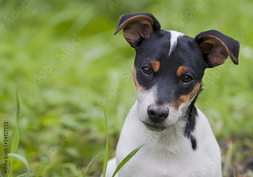 Cute jack russel terrier puppy