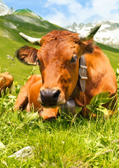 Cow grazing in French Alps