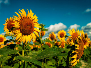 Sunflowers field under golden summer sun