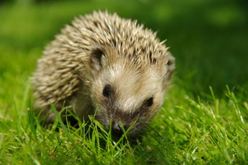 Hedgehog closeup