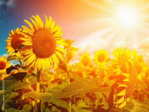 Happy Meadow. Sunflowers field under golden summer sun