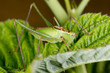 A green cricket on raspberry leaf
