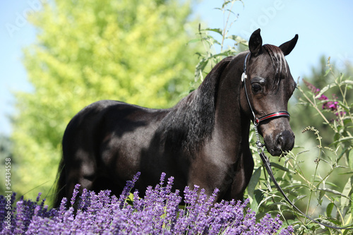 Black miniature horse behind purple flowers