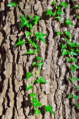 Ivy ordinary or ivy climbing (lat. Hedera helix). Background