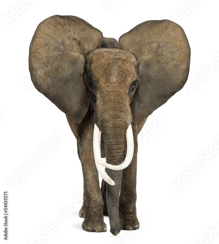 Foto op Plexiglas Olifant African elephant standing, ears up, isolated on white