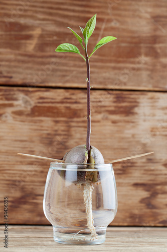 Germinating avocado - part 4