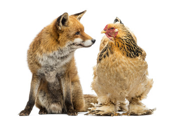 Red fox, Vulpes vulpes, sitting next to a Hen
