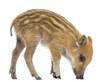 Wild boar, Sus scrofa, also known as wild pig, 2 months old