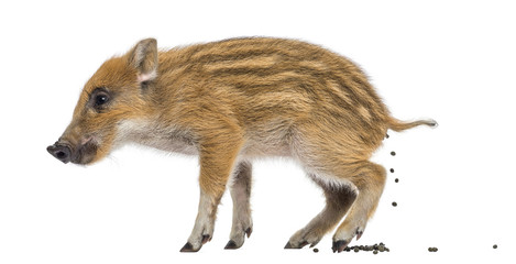 Wild boar, Sus scrofa, also known as wild pig, defecating
