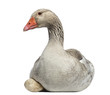 Close-up of a Domestic goose, Anser anser domesticus, lying
