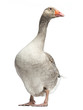 Domestic goose, Anser anser domesticus, standing, isolated