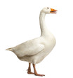 Domestic goose, Anser anser domesticus, standing and clucking