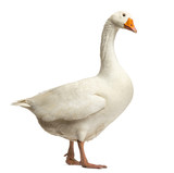 Fototapety Domestic goose, Anser anser domesticus,standing and looking down