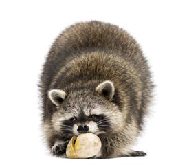 Racoon, Procyon Iotor,  standing, eating an egg, isolated