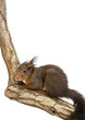 Red squirrel, Sciurus vulgaris, standing on a branch
