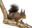 Side view of a Red squirrel, Sciurus vulgaris, standing