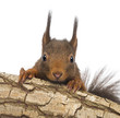 Close-up of a Red squirrel in a tree, isolated