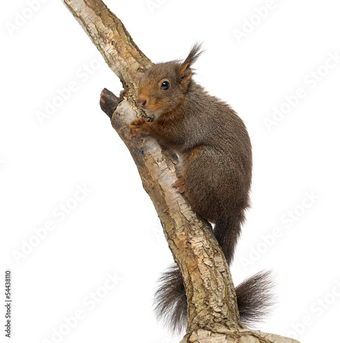 Red squirrel, Sciurus vulgaris, climbing a tree