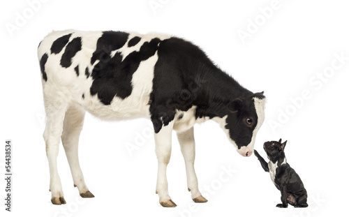French bulldog reaching at a veal, isolated on white