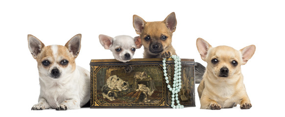 Group of Chihuahuas in a vintage box, isolated on white
