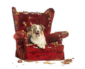 Australian Shepherd puppy, lying on a detroyed armchair