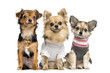 Group of dressed up Chihuahuas, isolated on white