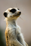 Cute Dirty mouth Meerkat staring