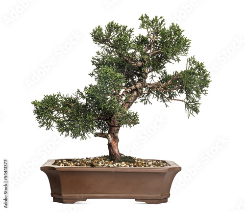 Aluminium Bonsai Juniper bonsai tree, Juniperus, isolated on white