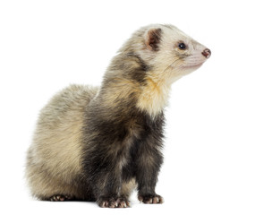 Ferret sitting, looking away, isolated on white