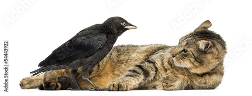 Western Jackdaw and lying cat looking at each other, isolated