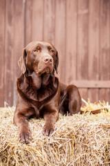 Labrador Retriever Choco