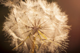 Flower Dandelion. Close-up