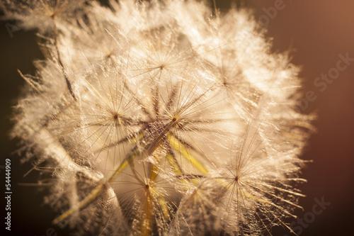 Flower Dandelion. Close-up