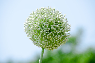 Spherical white onion flower